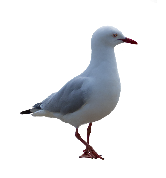 Gull clipart . Flying seagull png vector freeuse library