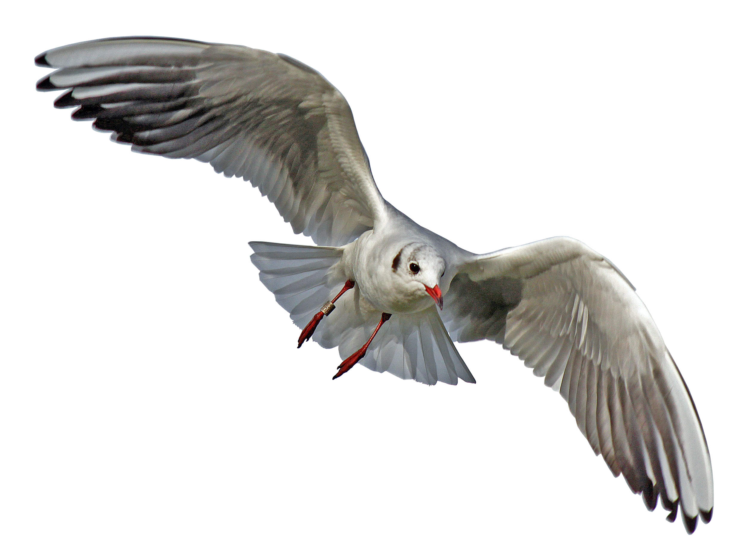 Seagull flying png. Images snipstock id