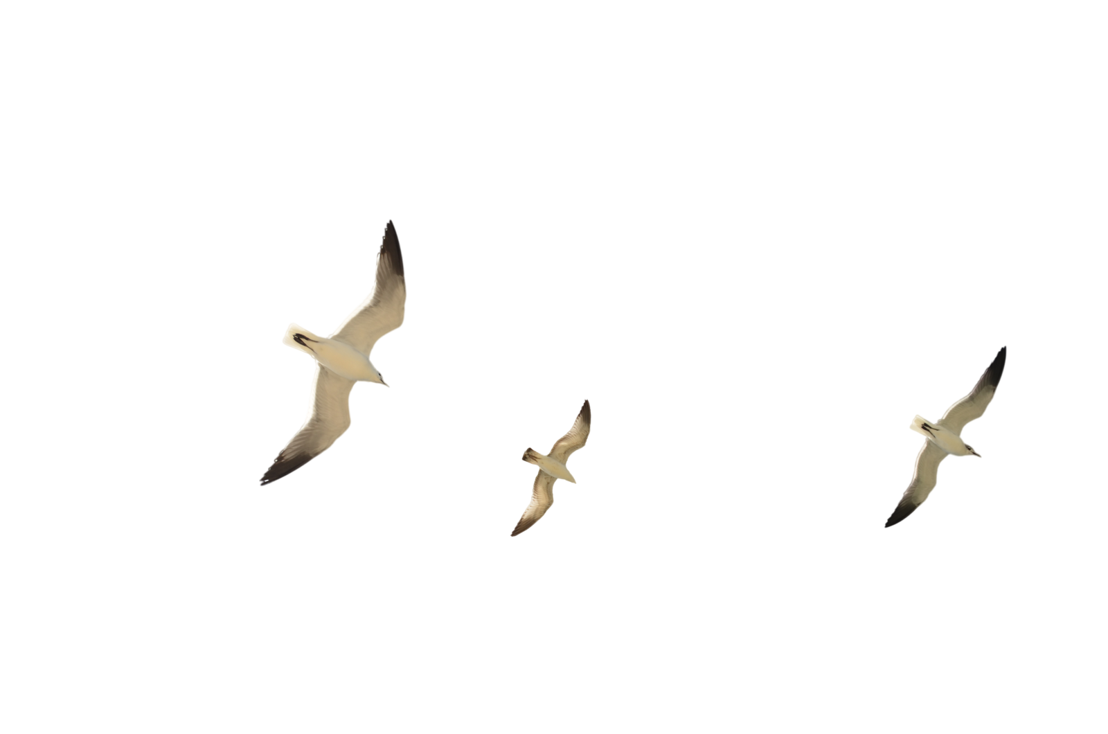 Seagull flying png. Gulls transparent image mart
