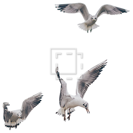 Seagull flying png. Seagulls in flight parent