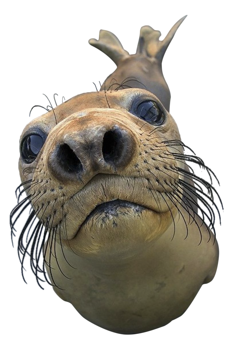 Baby seal png