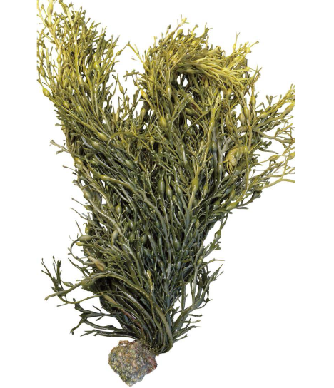 Seaweed png transparent. Based products