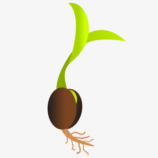 Seed clipart germination process. Germinating seeds leaf bud