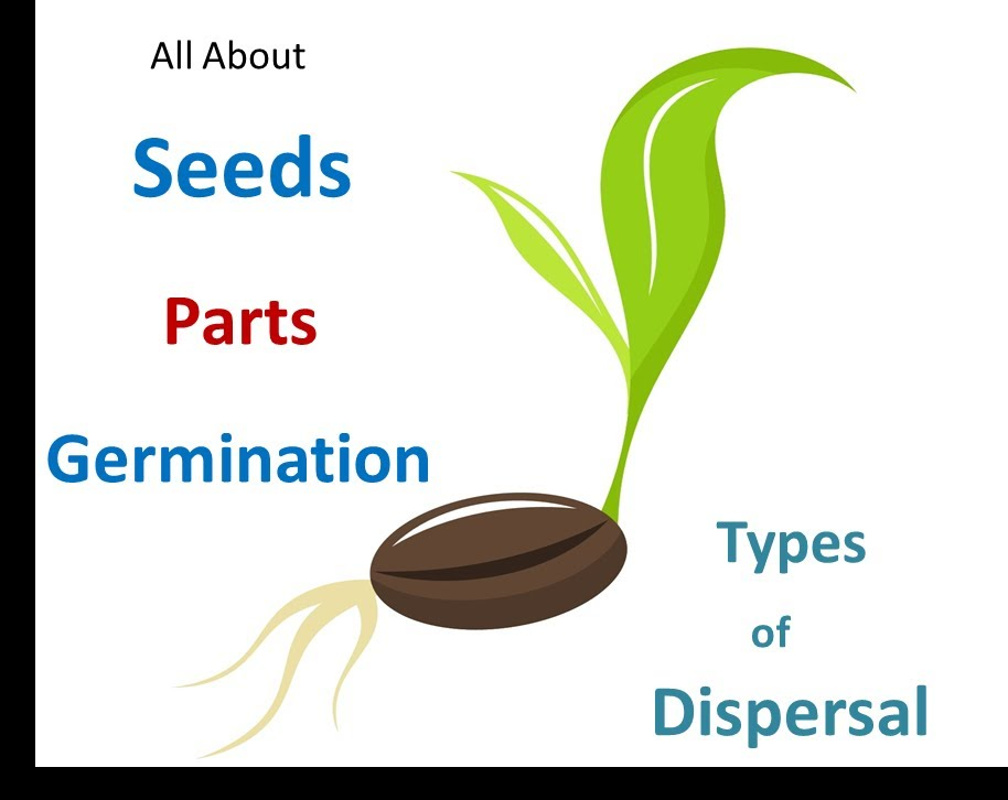 Seed clipart germination process. Parts dispersal methods for