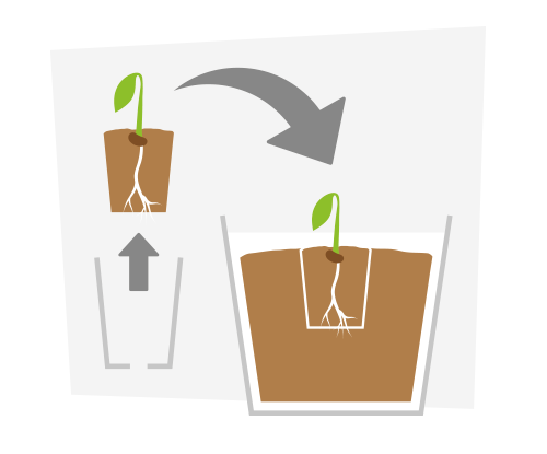 Seed clipart germination process. Sprouting cannabis seeds plant