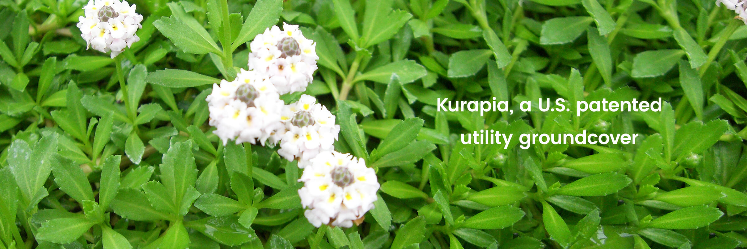 Seed clipart ground cover. Kurapia utility groundcover a