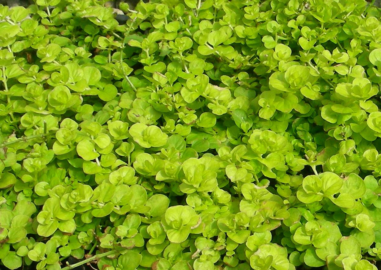 Seed clipart ground cover. Plants creeping jenny