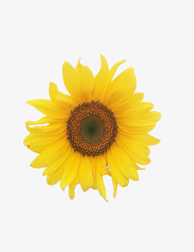 Seedling clipart sunflower seedling. Beautiful sunflowers yellow png