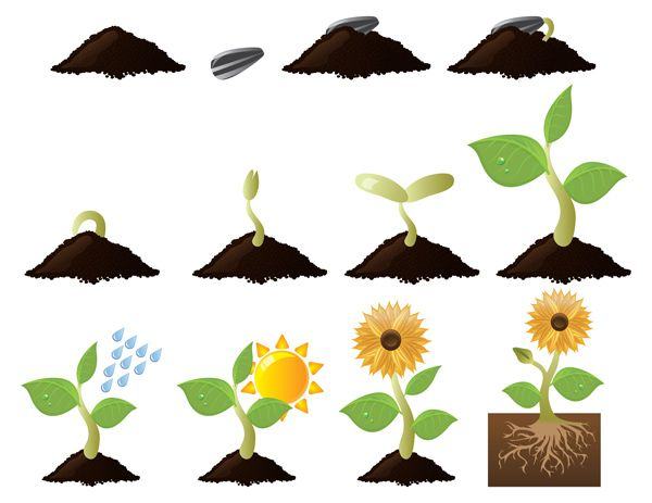 Seedling clipart sunflower seedling. The life cycle of