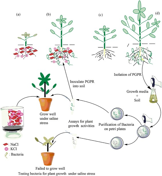 Seeds clipart soil bacteria. Plant growth promoting as