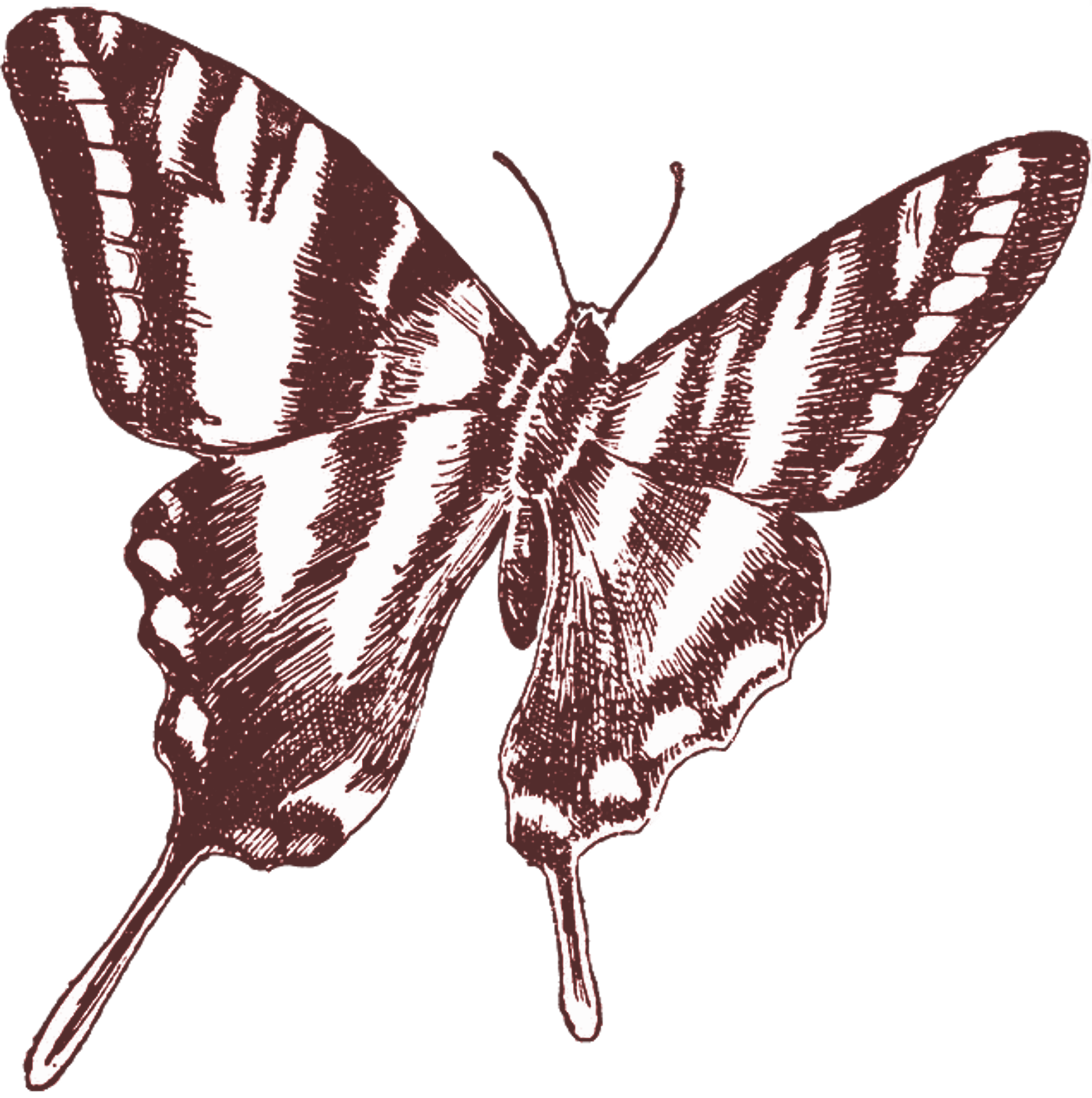 Sepia drawing. Of a butterfly free