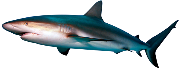 Shark mouth open png. Transparent pictures free icons
