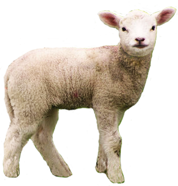 Sheep clipart transparent background. High resolution png free