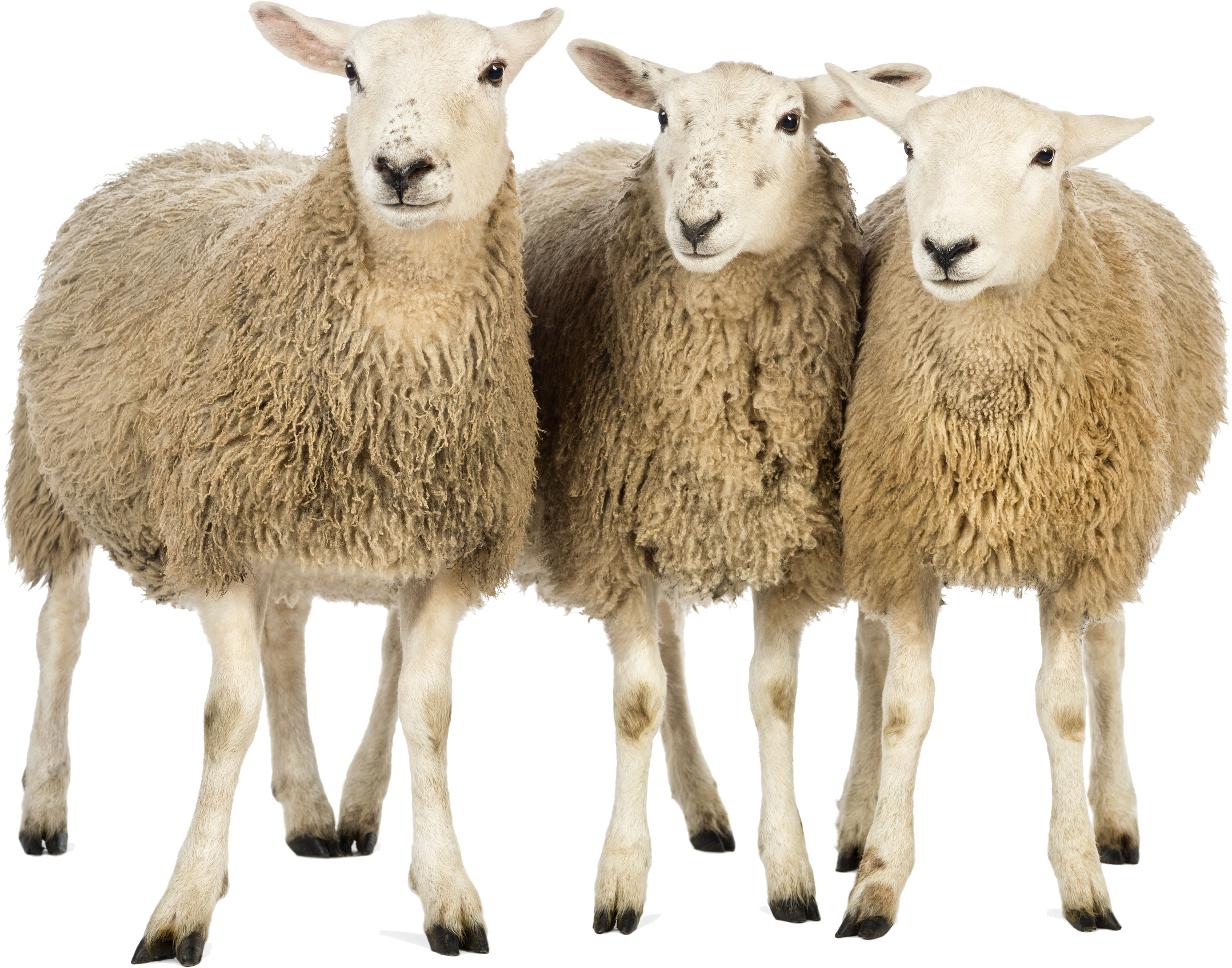 Sheep png images. Transparent pictures free icons