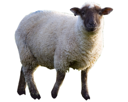 Sheep png transparent. Professional images only image