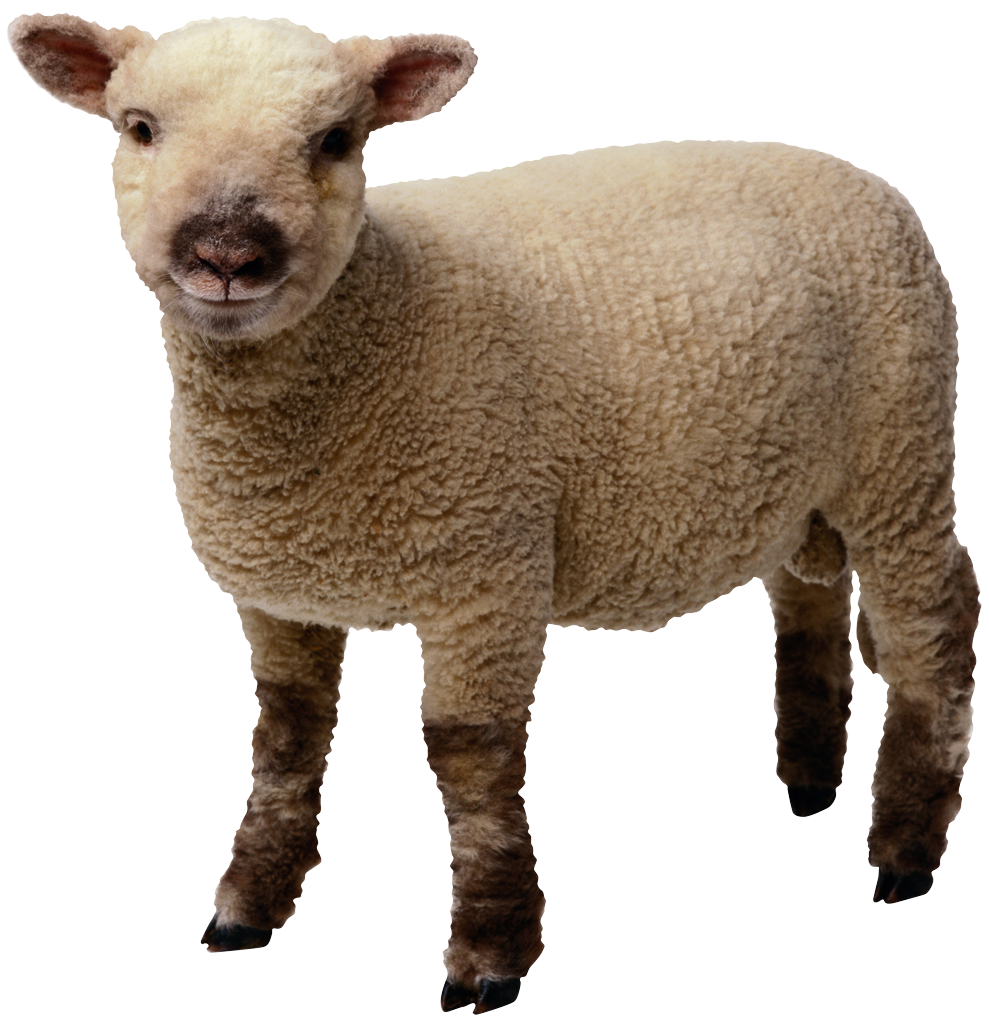 Sheep clipart merino sheep. Png transparent images all