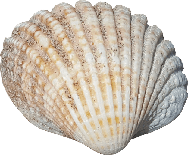 Shell transparent background. Sea no png image