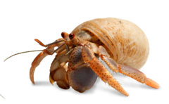 Shell transparent hermit crab. Caring for your pets