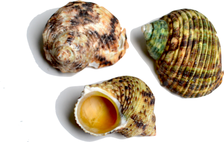 Shell transparent pearlescent. Fossil identification treasure quest