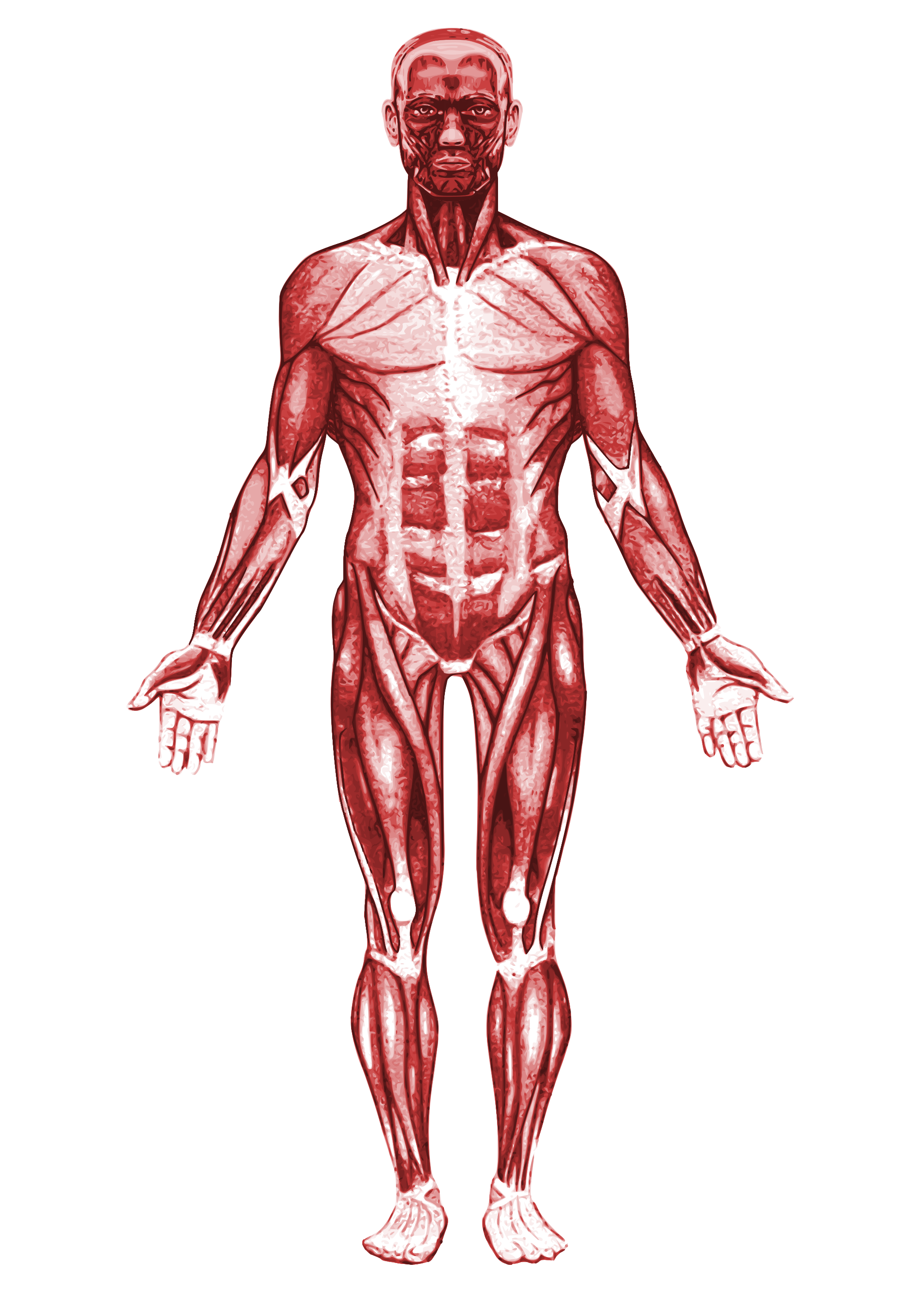 Transparent muscles svg. File muscular system wikimedia