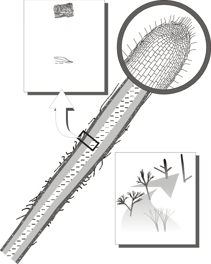 Show drawing after. Rhizomorph structure the diagonal