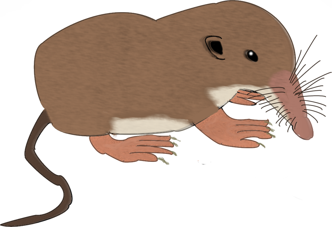 Shrew drawing. Mouse attempt by samuelearl