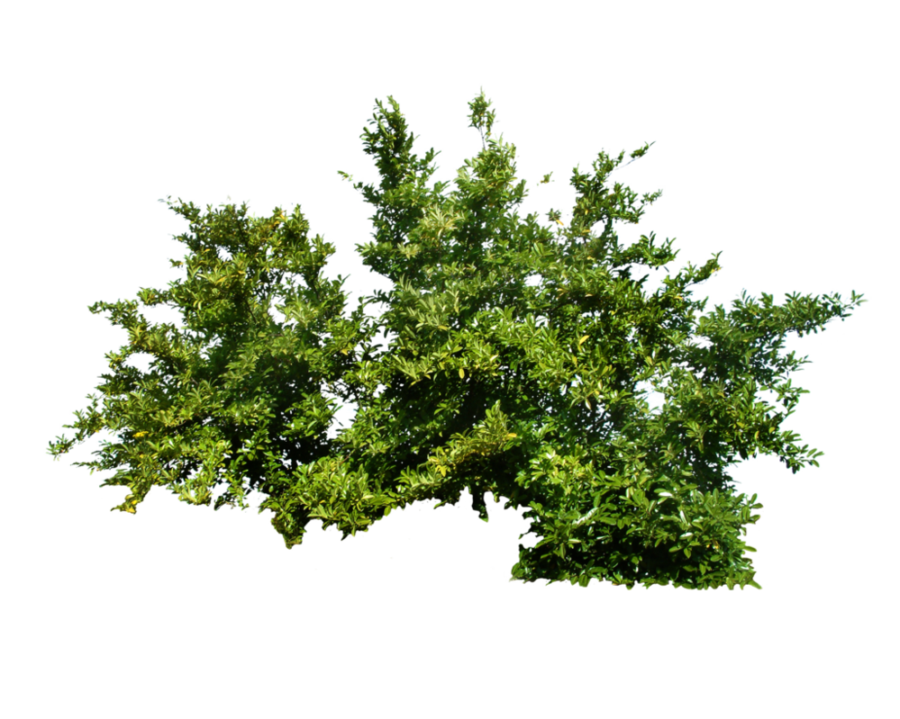 Shrub plan png. Bush stock by gilgamesh