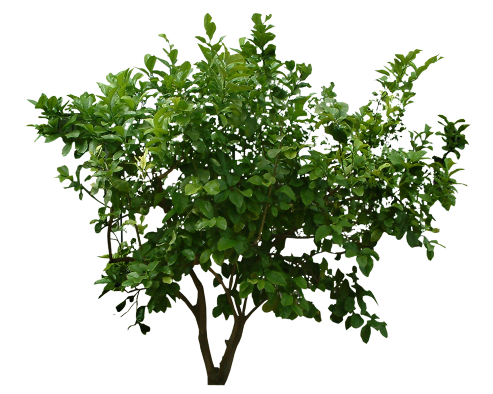 Shrubs bushes png. Bush transparent free images