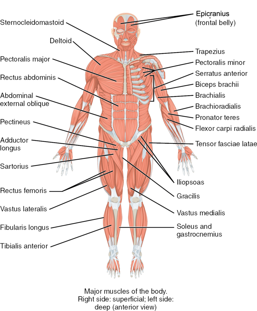 Side Drawing Human Anatomy Transparent Png Clipart Free Download