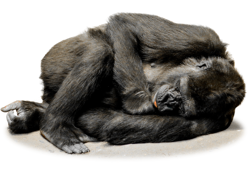 Vector gorilla mountain. Png images transparent free