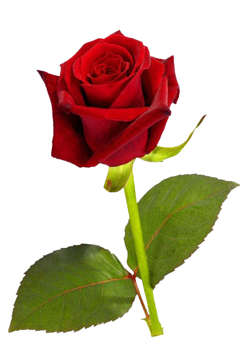 Single flower png. Red rose hd clip