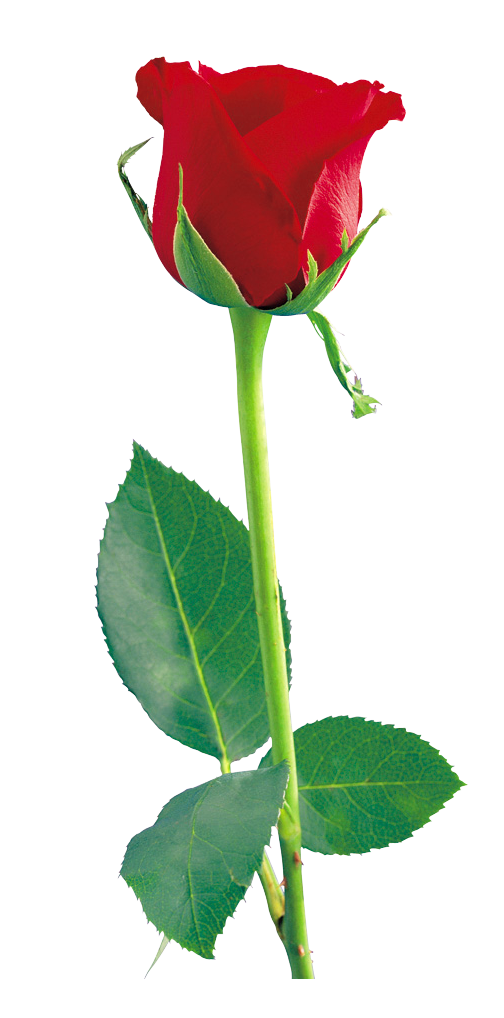 Single red rose png. Clipart gallery yopriceville high