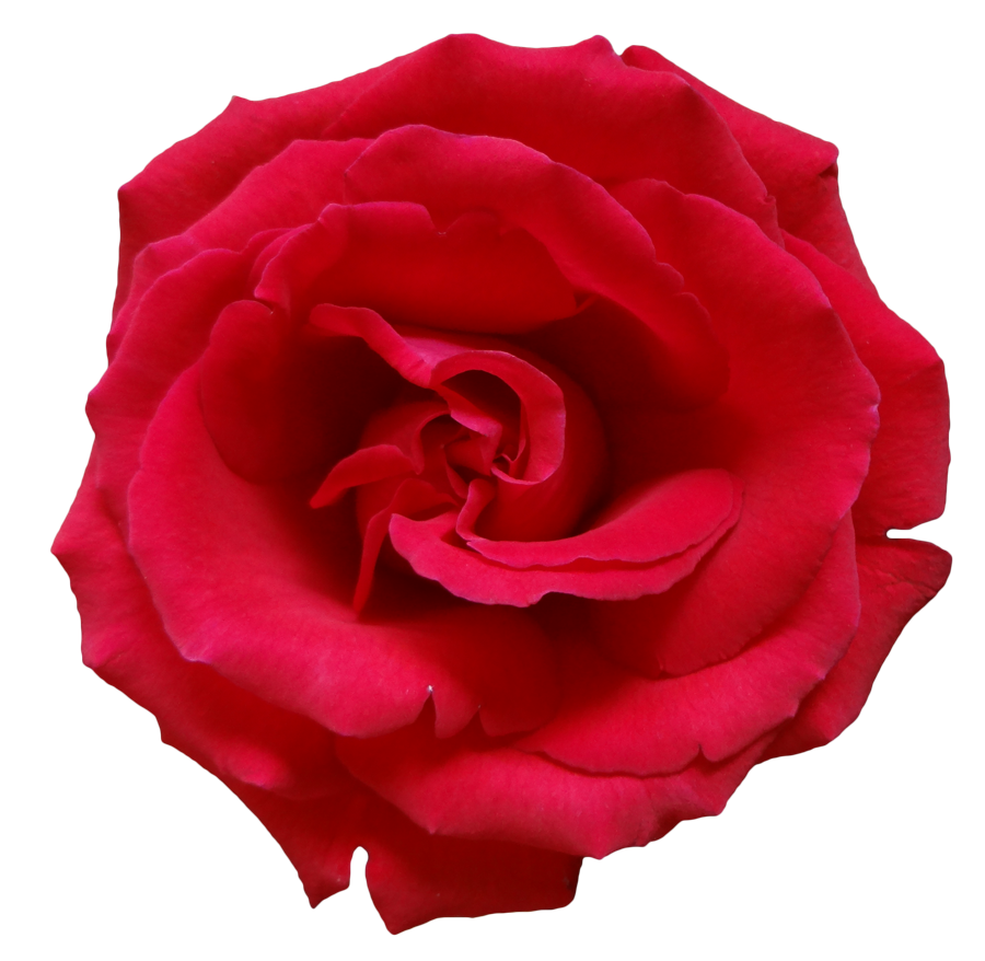 Single flower png. Rose images free download
