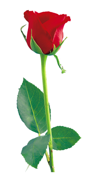 Single rose png. Red clipart tulips pinterest