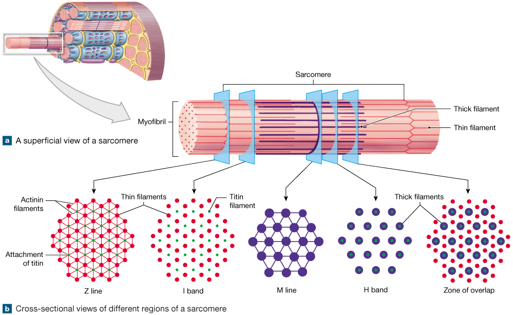 Skeletal muscle organization png. Fibers are organized