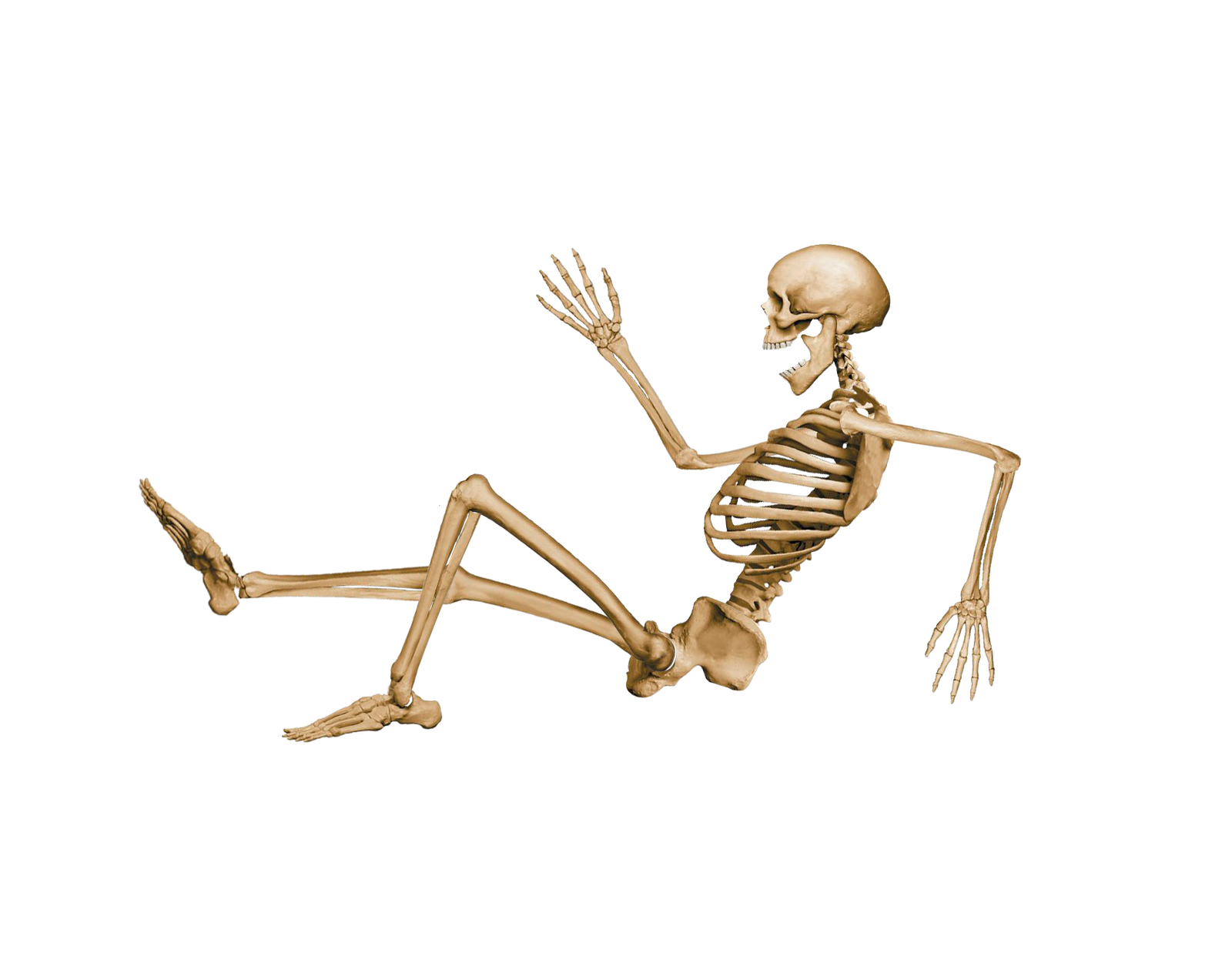 anatomy vector skeleton body