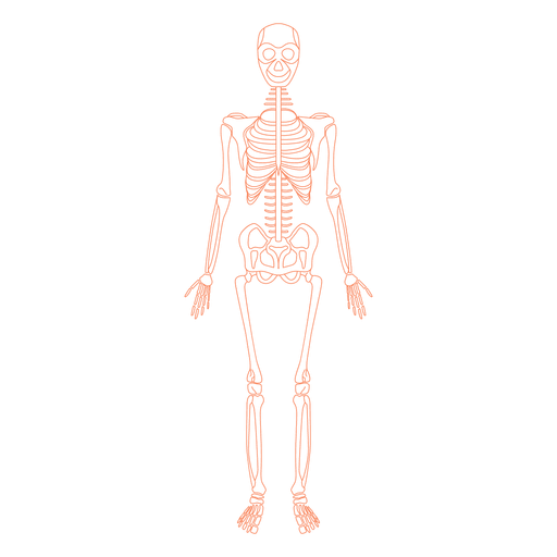 Vector bone illustration. Skeletal system anatomy bones