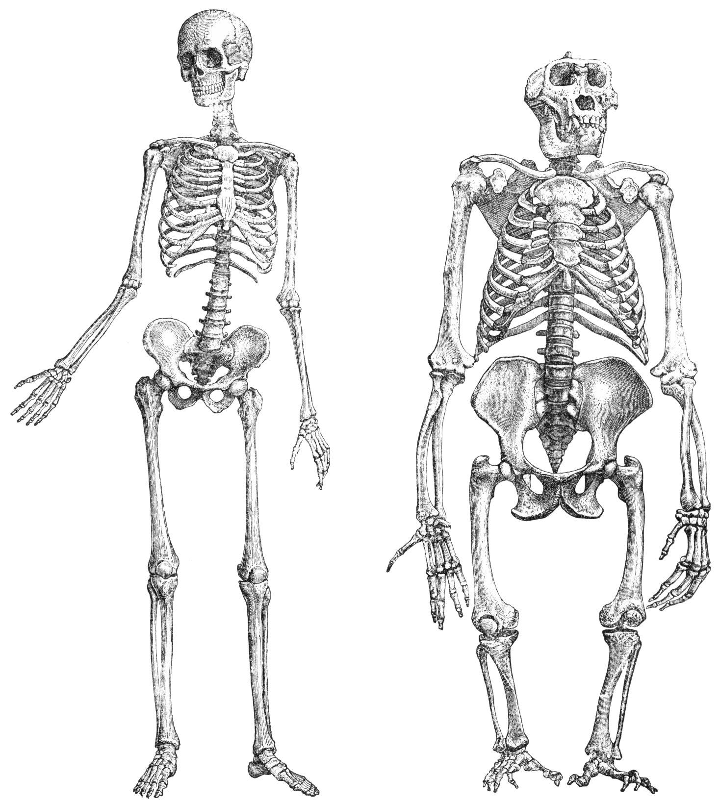 Skeleton png transparent. File primatenskelett drawing wikimedia