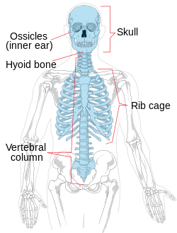 Anatomy vector skeletal system. Axial skeleton wikipedia