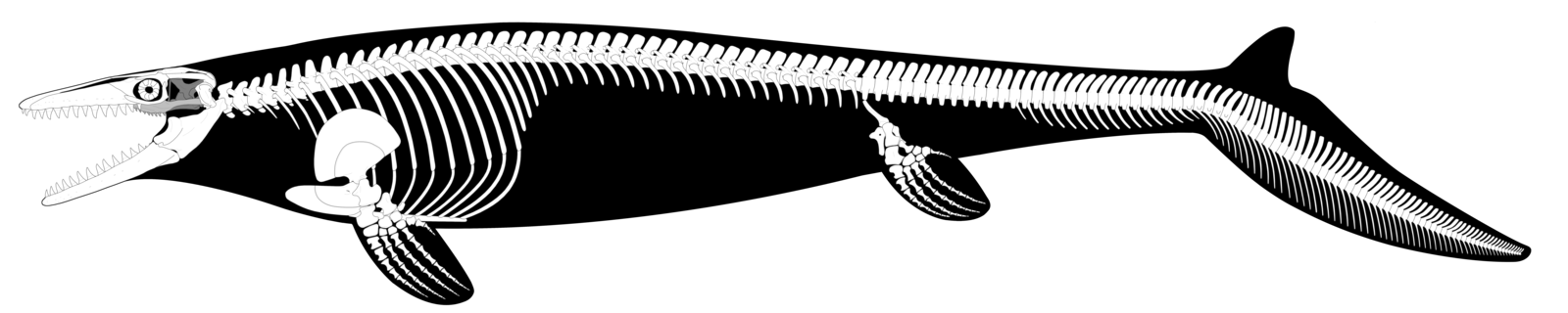 Skeletons drawing mosasaurus. Hoffmannii reconstruction updated by