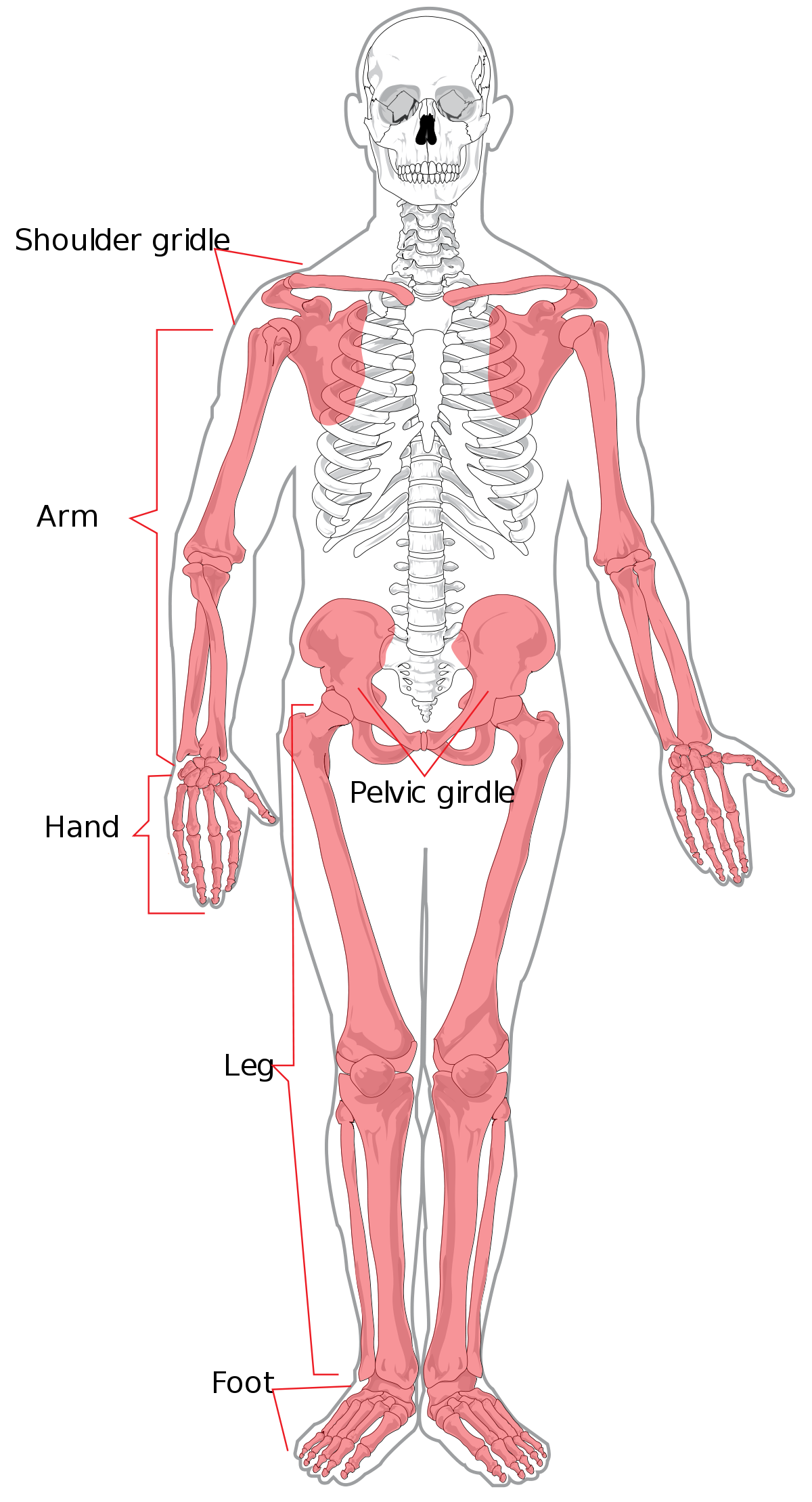 Skelton legs with pelvis transprent png. Appendicular skeleton wikipedia