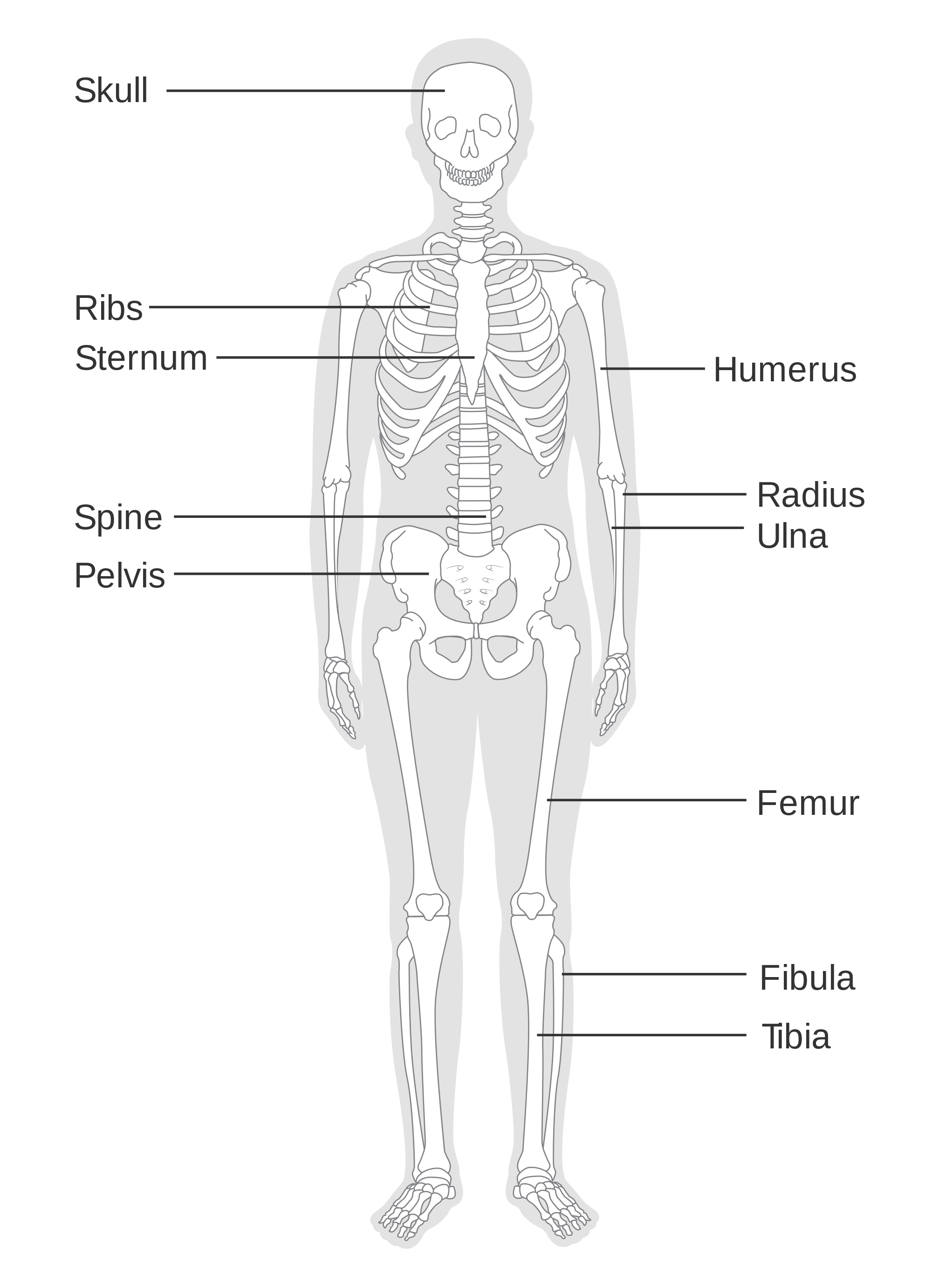 Skelton legs with pelvis transprent png. File diagram of the