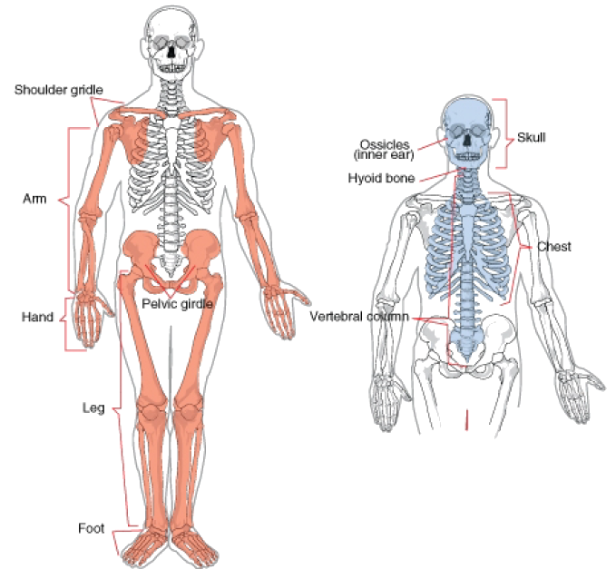 Skelton legs with pelvis transprent png. The skeletal system opencurriculum