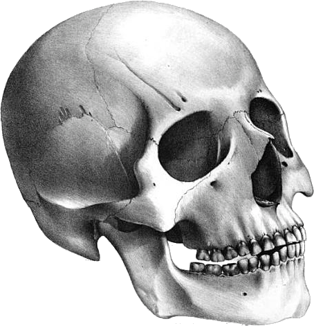 Skull png stock. Human eight isolated photo