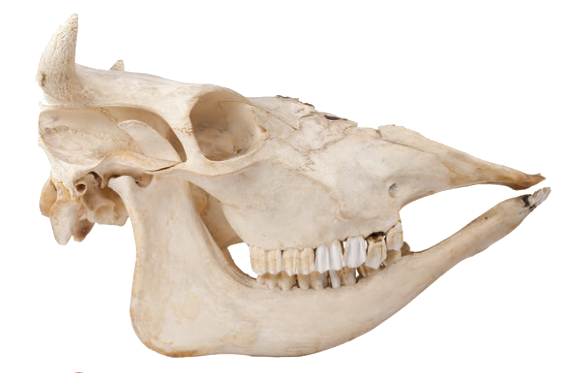 jaw bone png