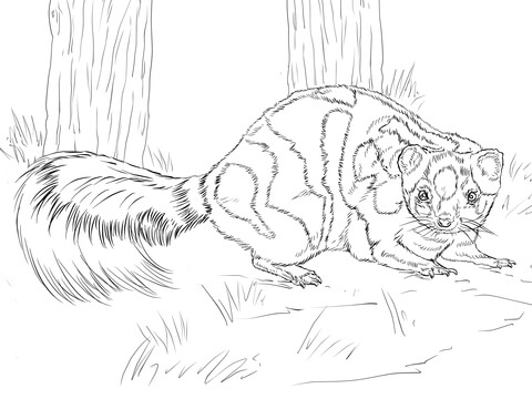 Skunk clipart spotted skunk. Western coloring page free