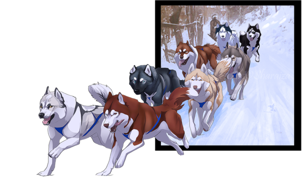 Sledding drawing dog sled race. New team will it