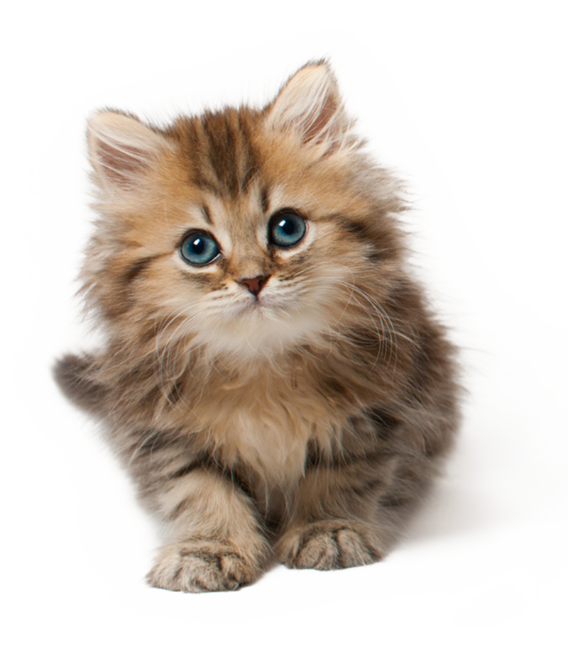 Kittens transparent two baby. Kitten png by lg