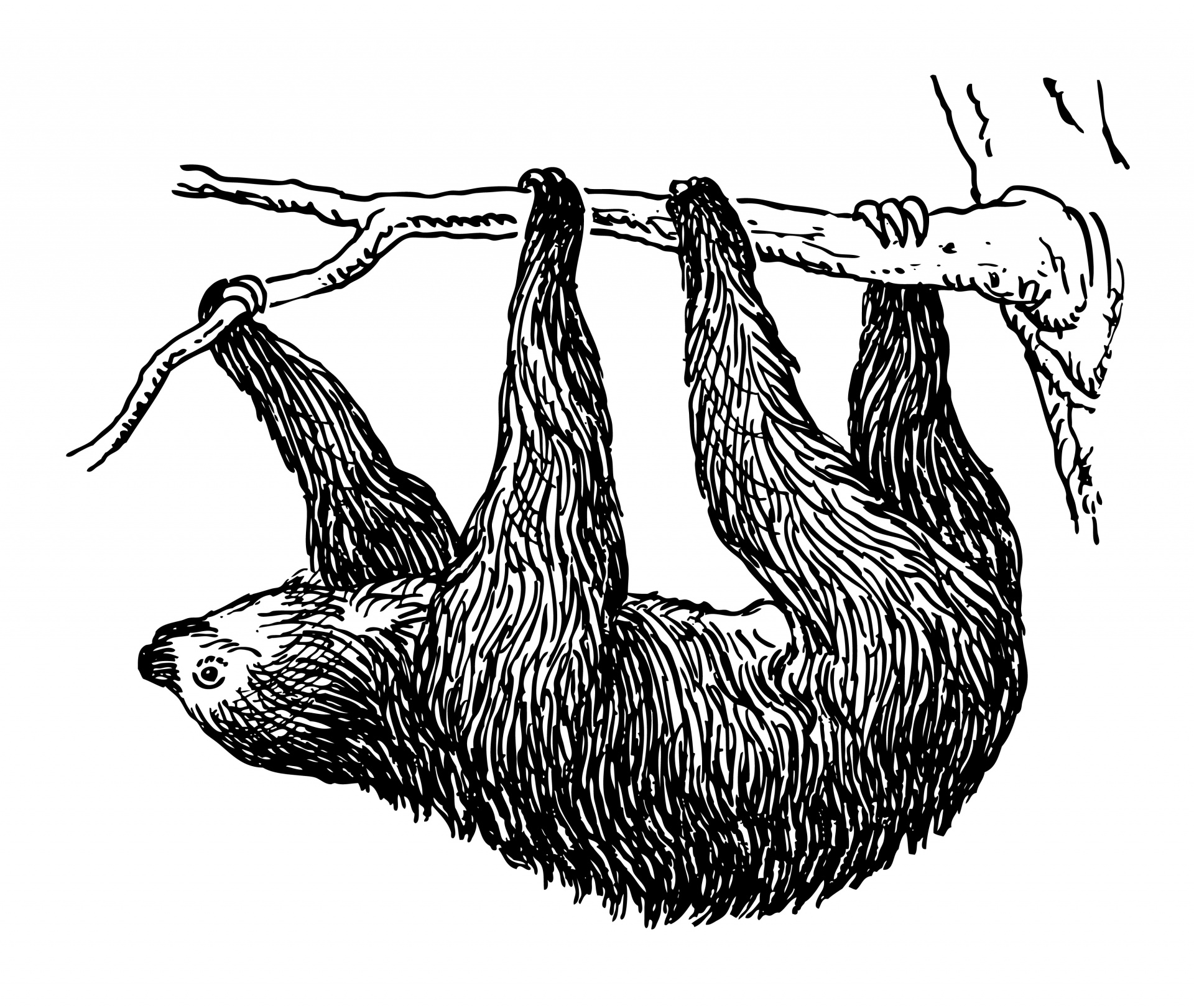 Sloth clipart. Illustration free stock photo graphic stock