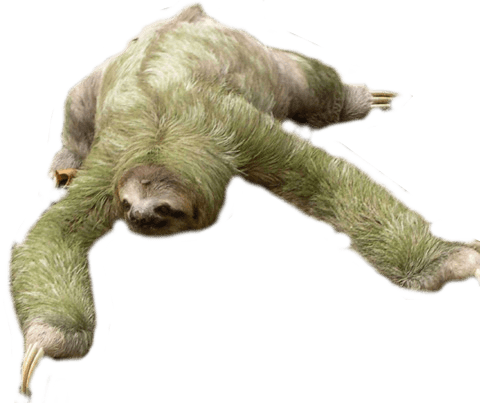 Sloth clipart sloth transparent. Looking down png stickpng